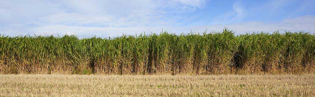 Agriculture miscanthus